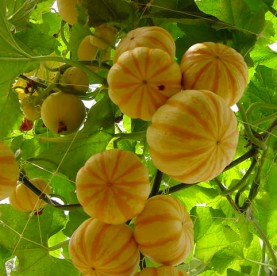 Mini abóboras Pumpkino
